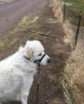 Bear observing tumbleweeds. You can see the wind in Bear's fur
